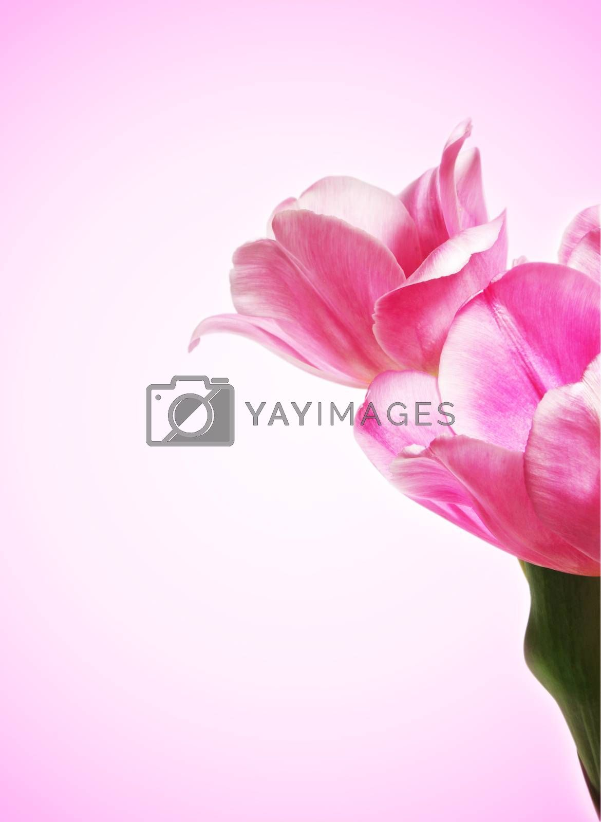 beautiful pink tulip with copy space
