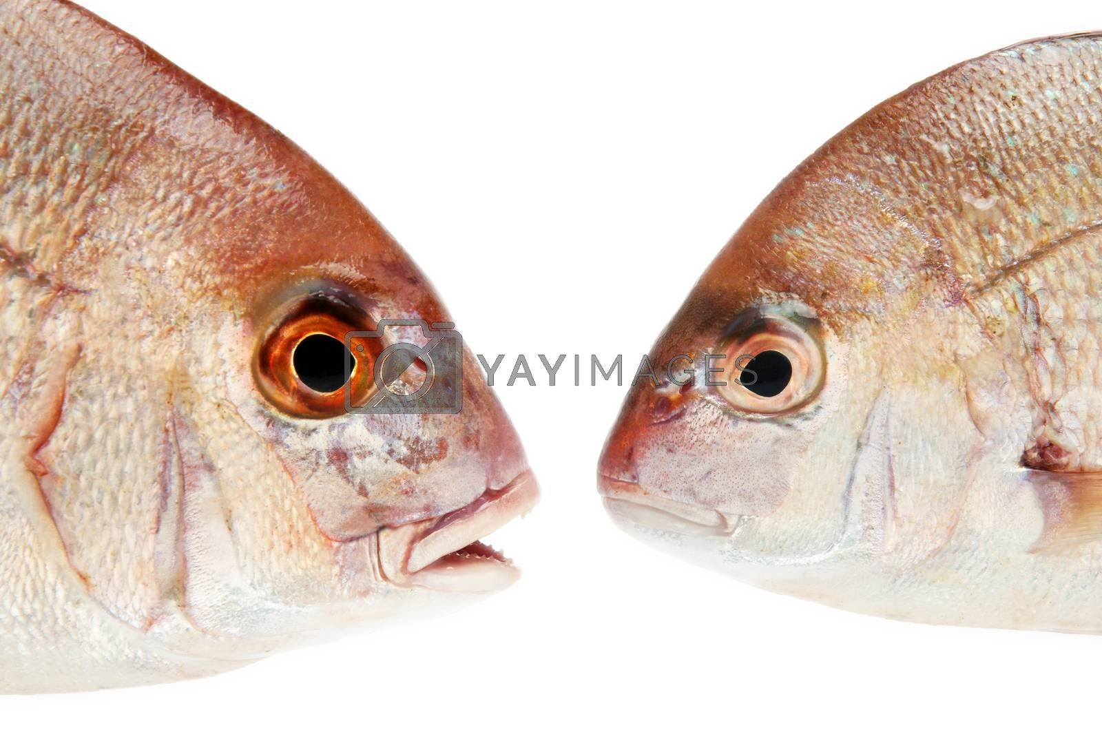 two fishes talking with each other