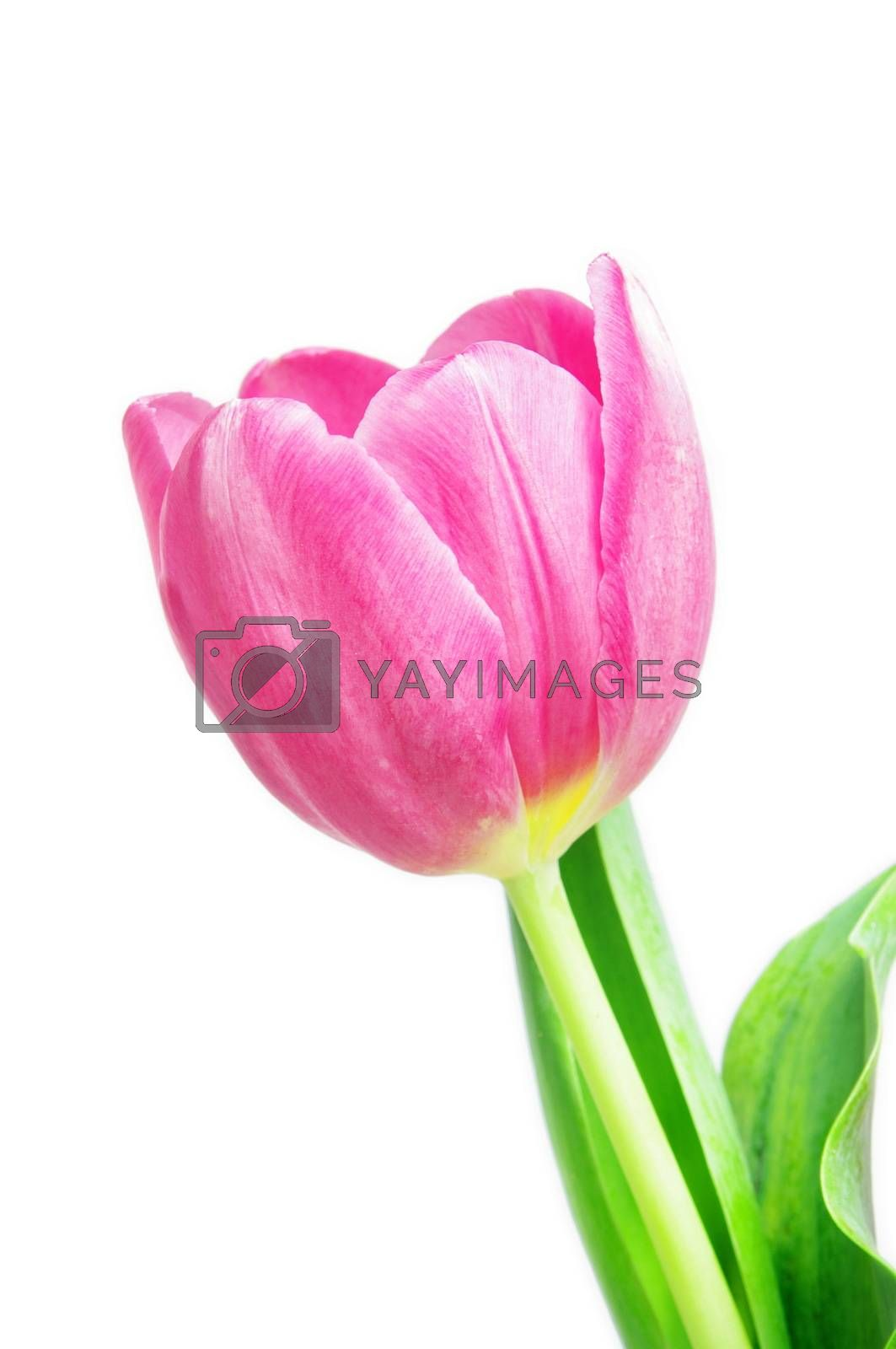beautiful pink tulip on white background