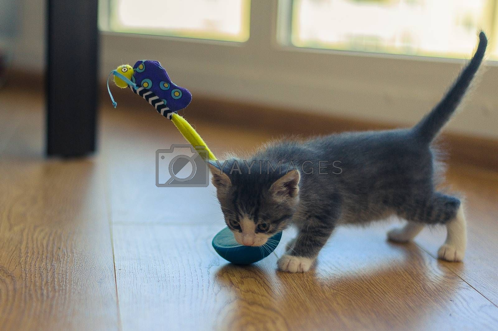 gray kitten is played with a tumbler toy on a wooden floor
