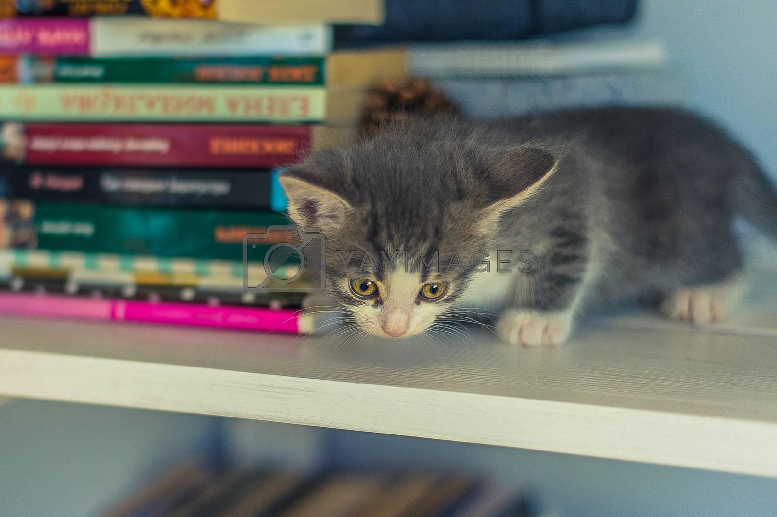 Gray kitten sits on a bookshelf near a fir cone