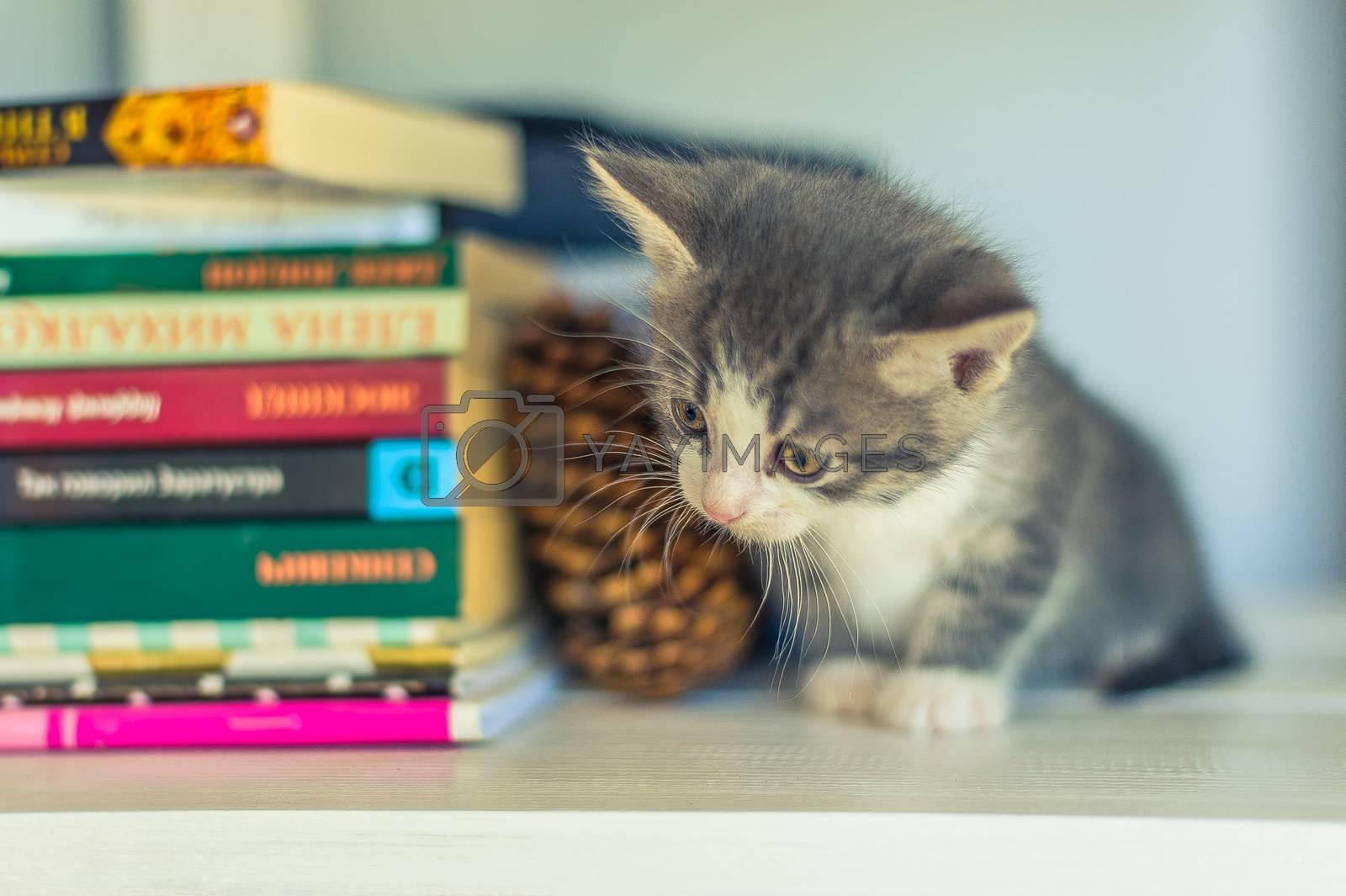 Gray kitten sitting on a white bookshelf near a fir cone