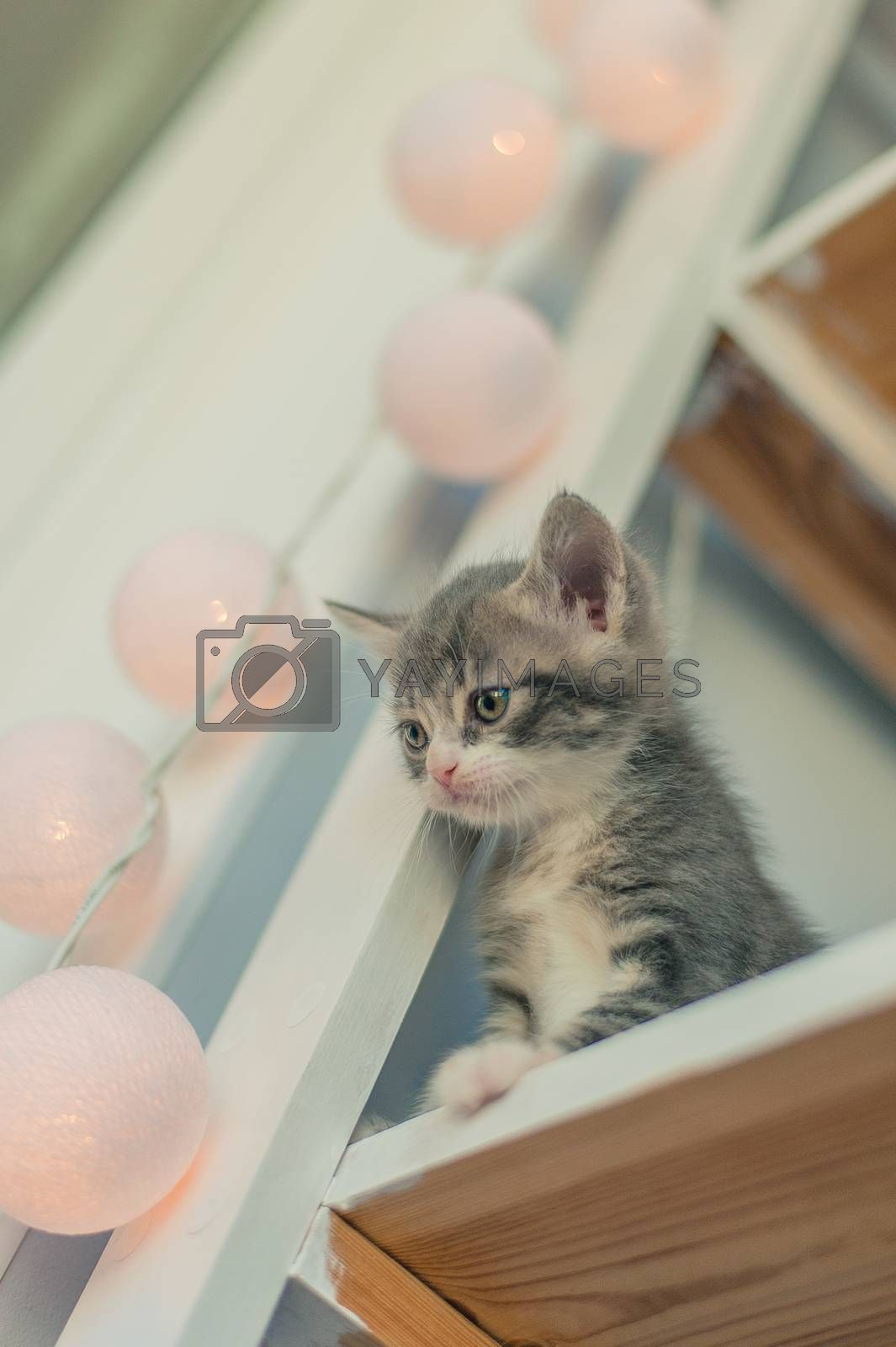 Gray kitten sits on a white shelf near the lamps