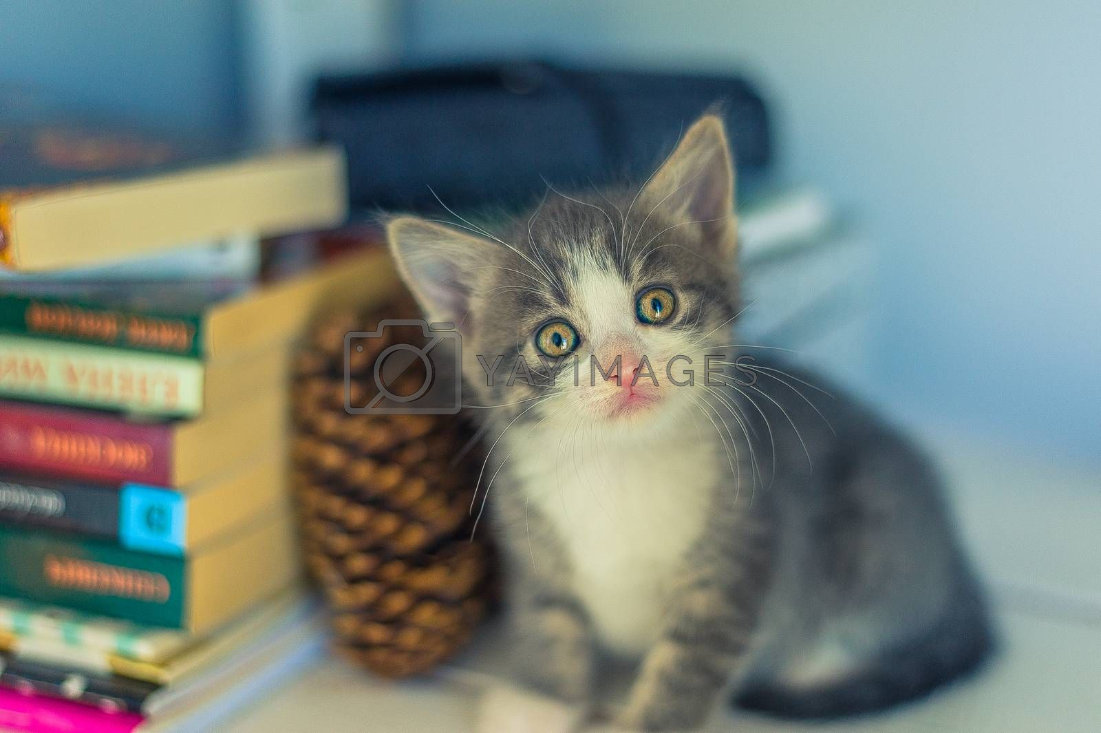 Gray kitten sits near books and fir cones