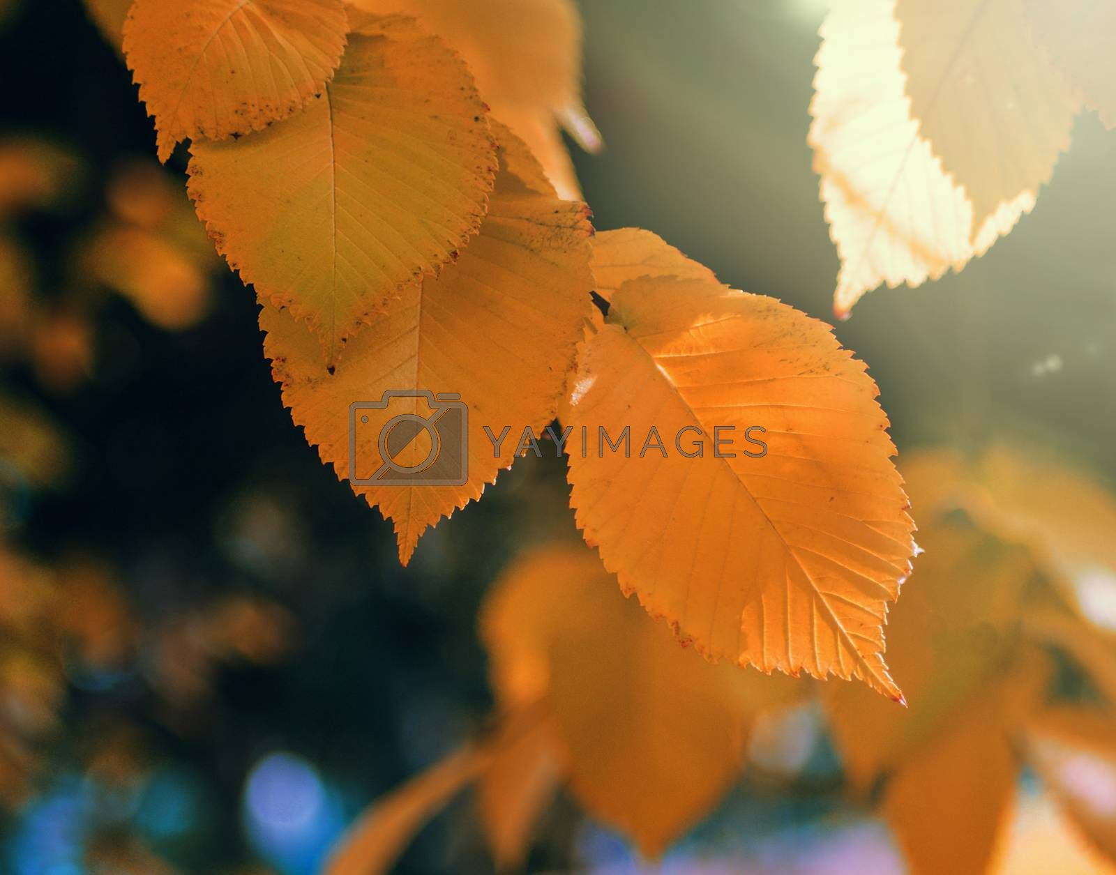 closeup of the autumn leaves in sunlight