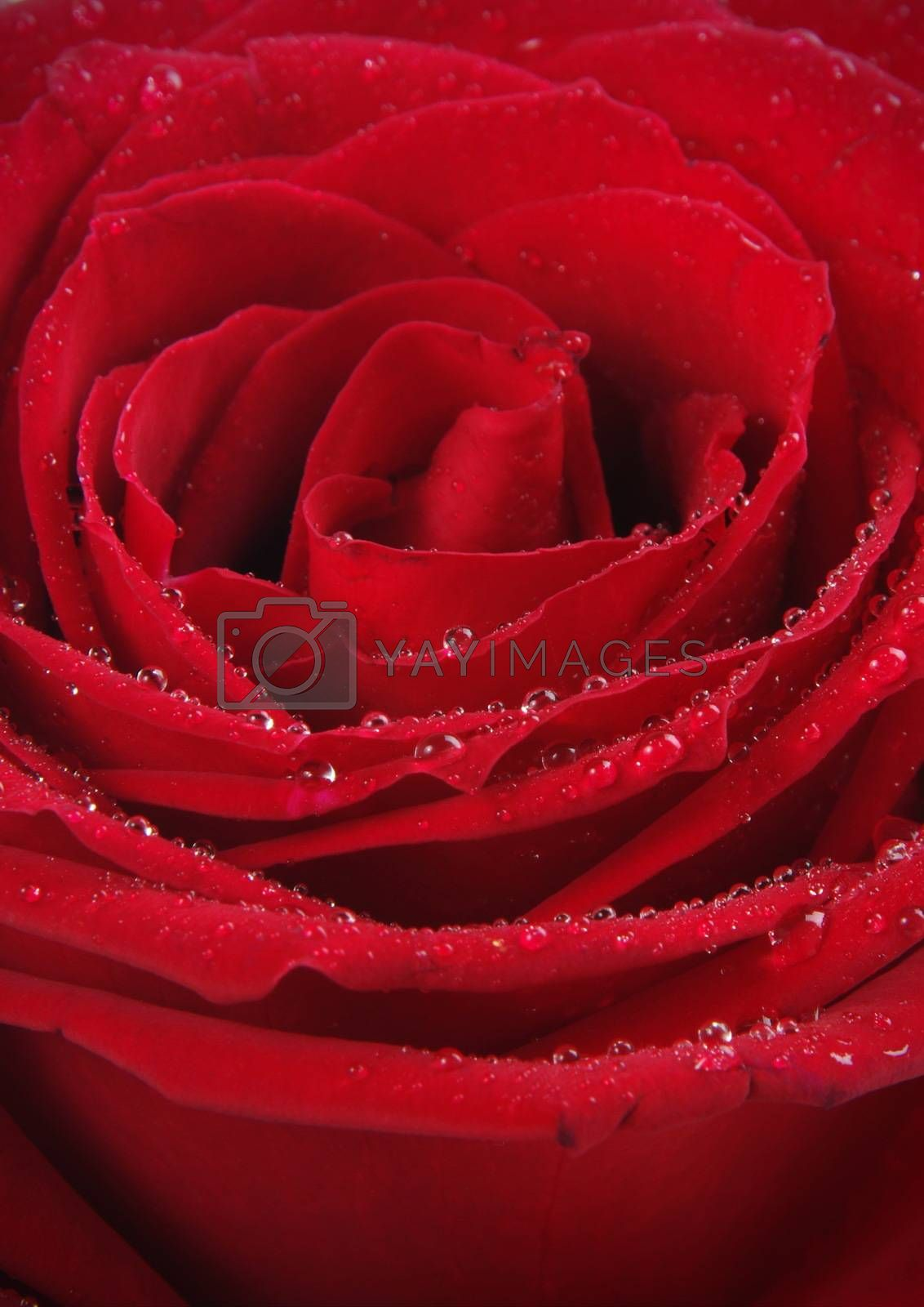 red rose closeup with water drops