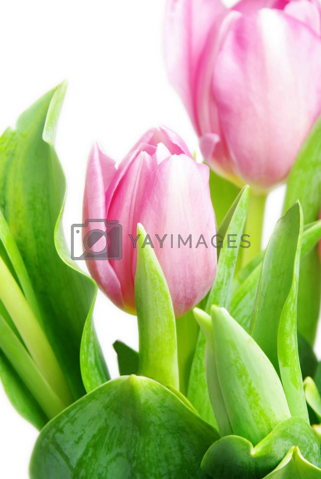 beautiful pink tulips on white background