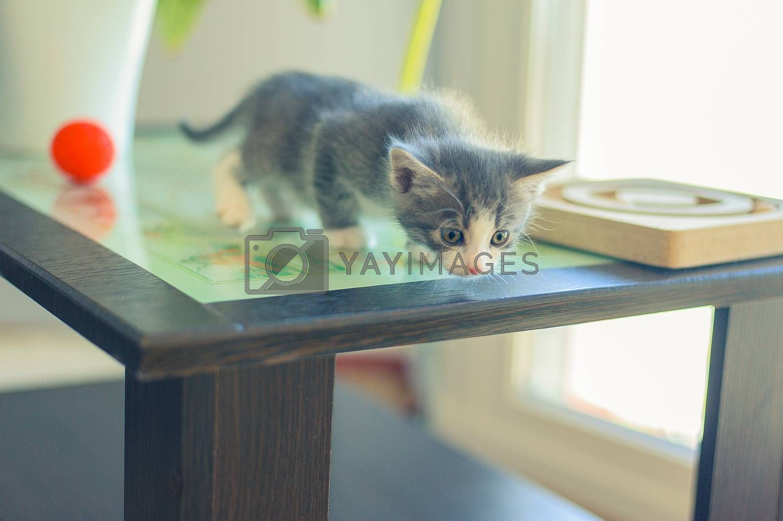 curious gray kitten sits on a wooden table