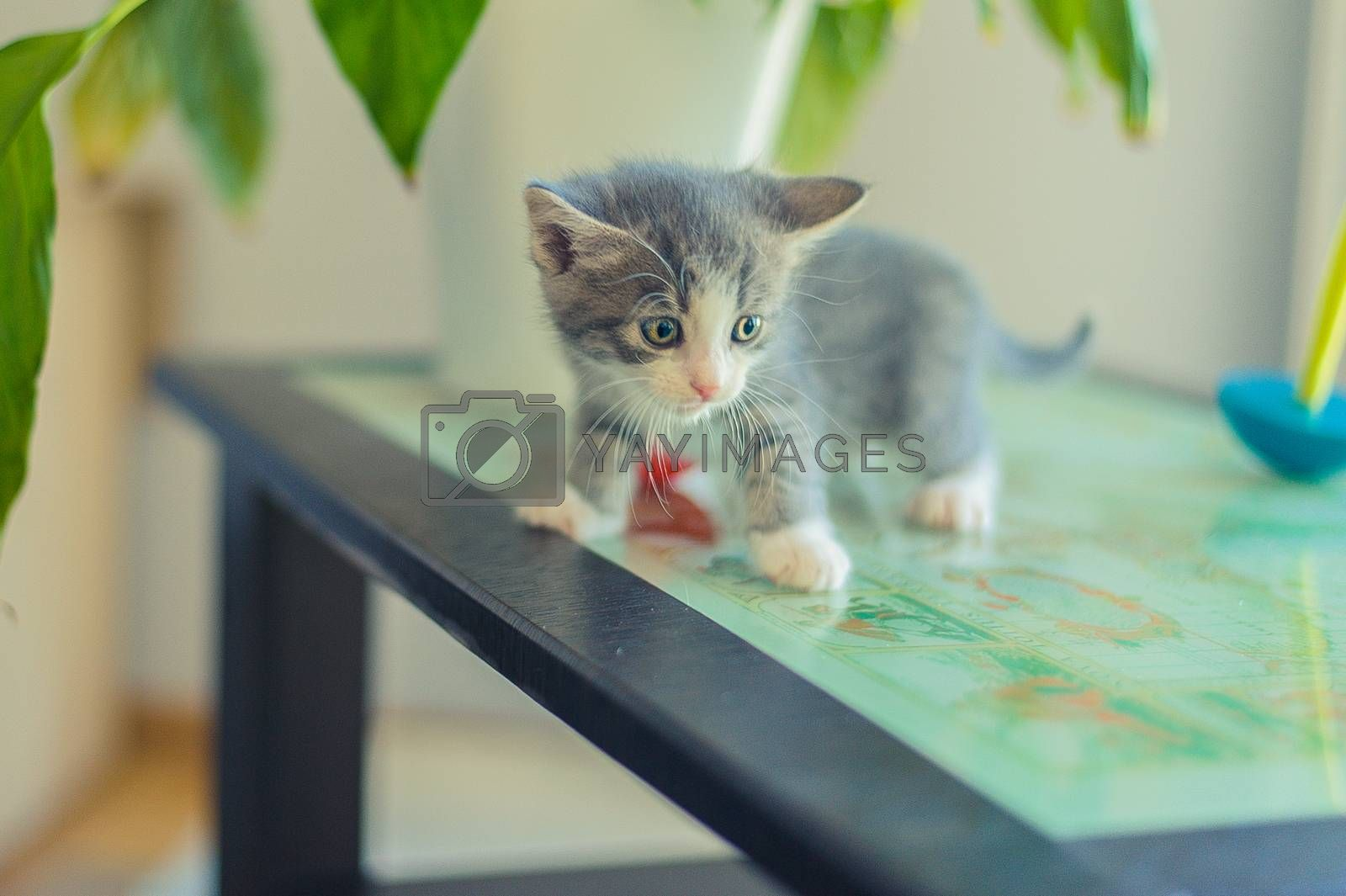 scared gray kitten on a glass table
