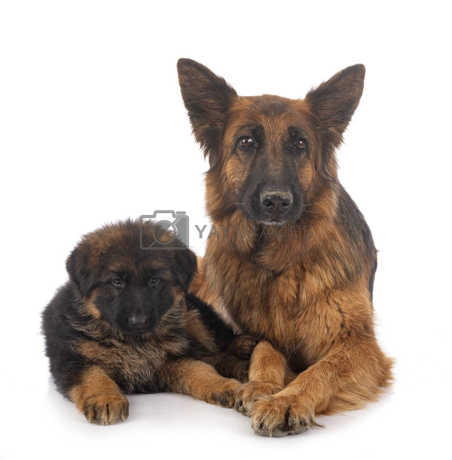 puppy german shepherd and adult in front of white background