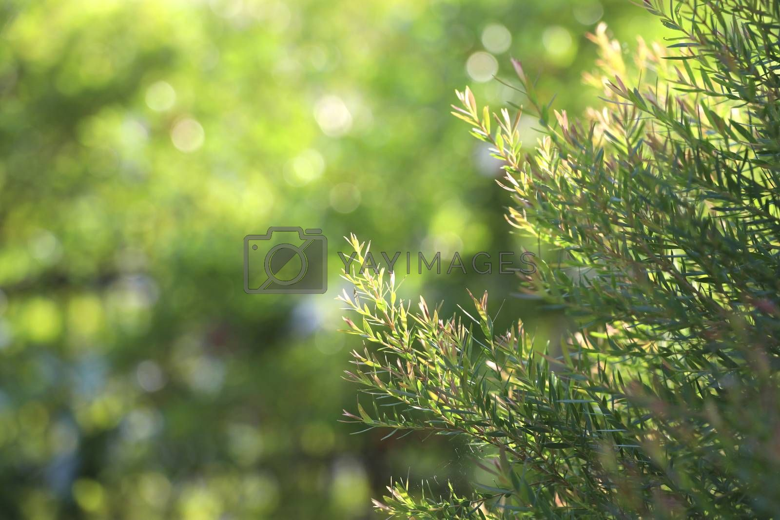 Natural pine leafs background with selective focus.
