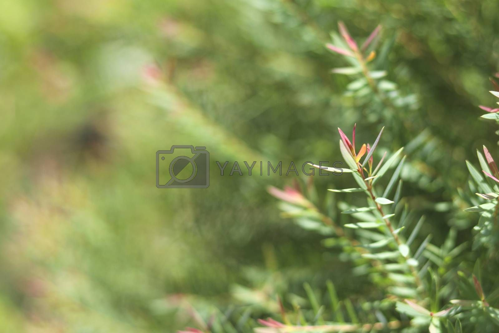 Juniperus leaves with selective focus on blurred background.