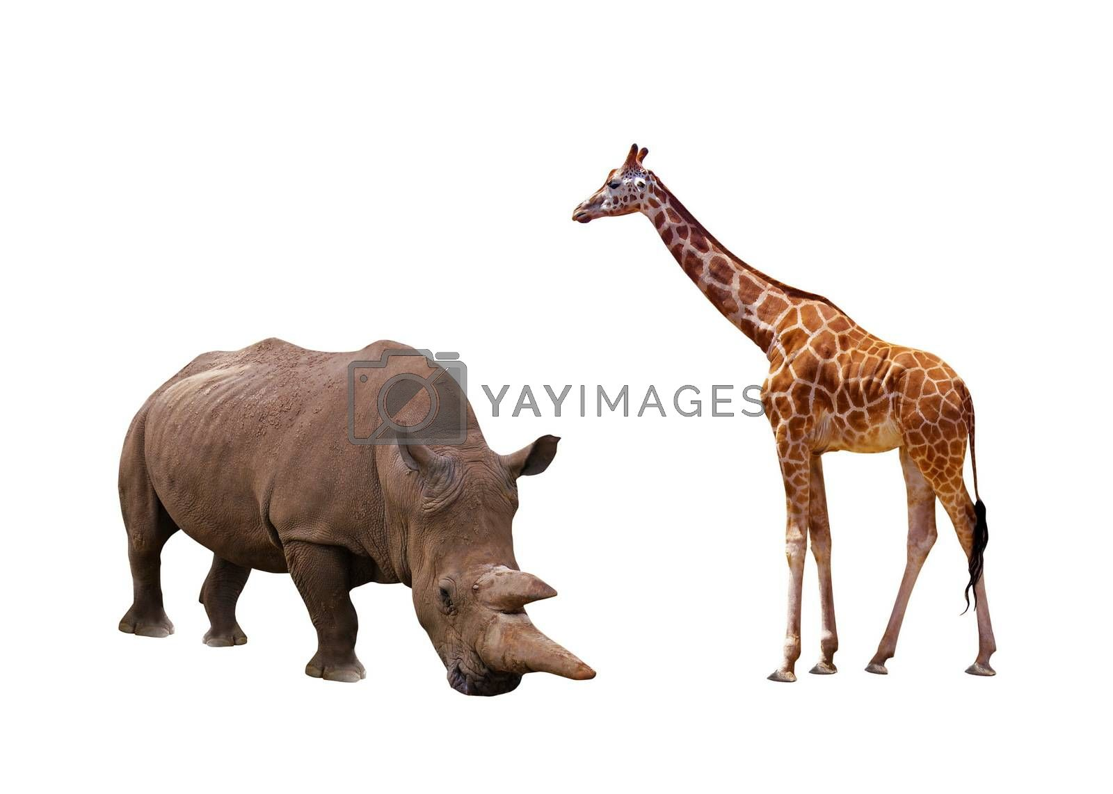 rhinoceros and giraffe on the white