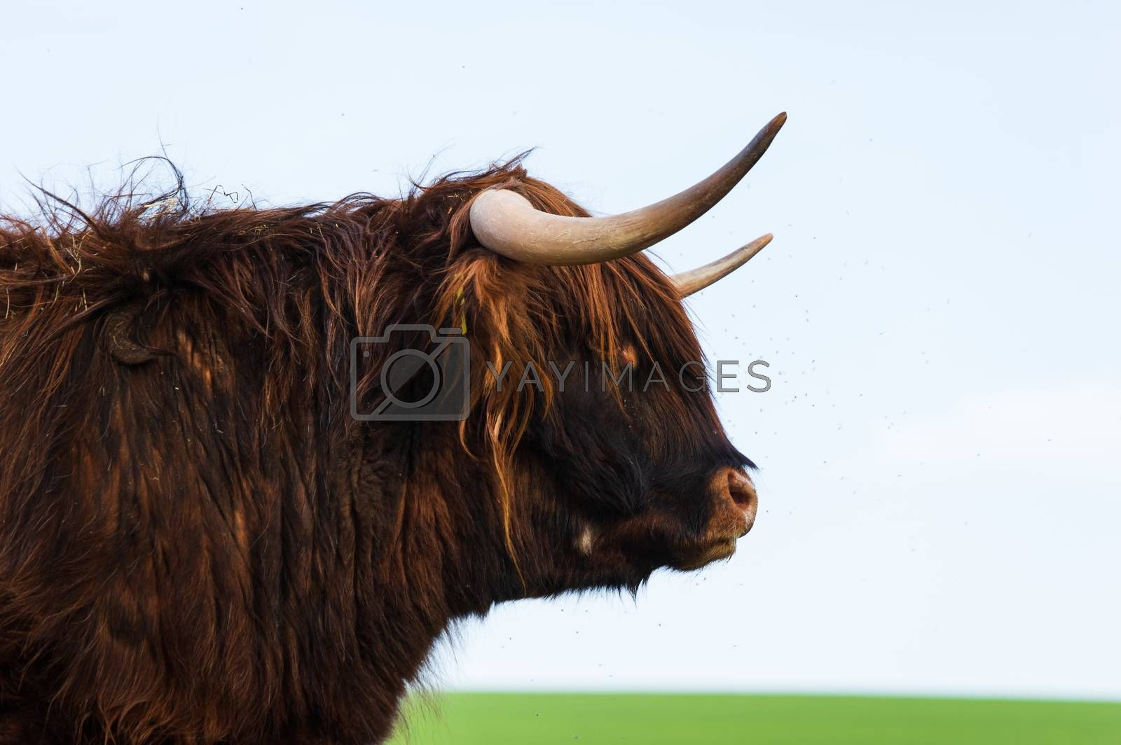 Scottish highland cattle standing on a meadow in spring