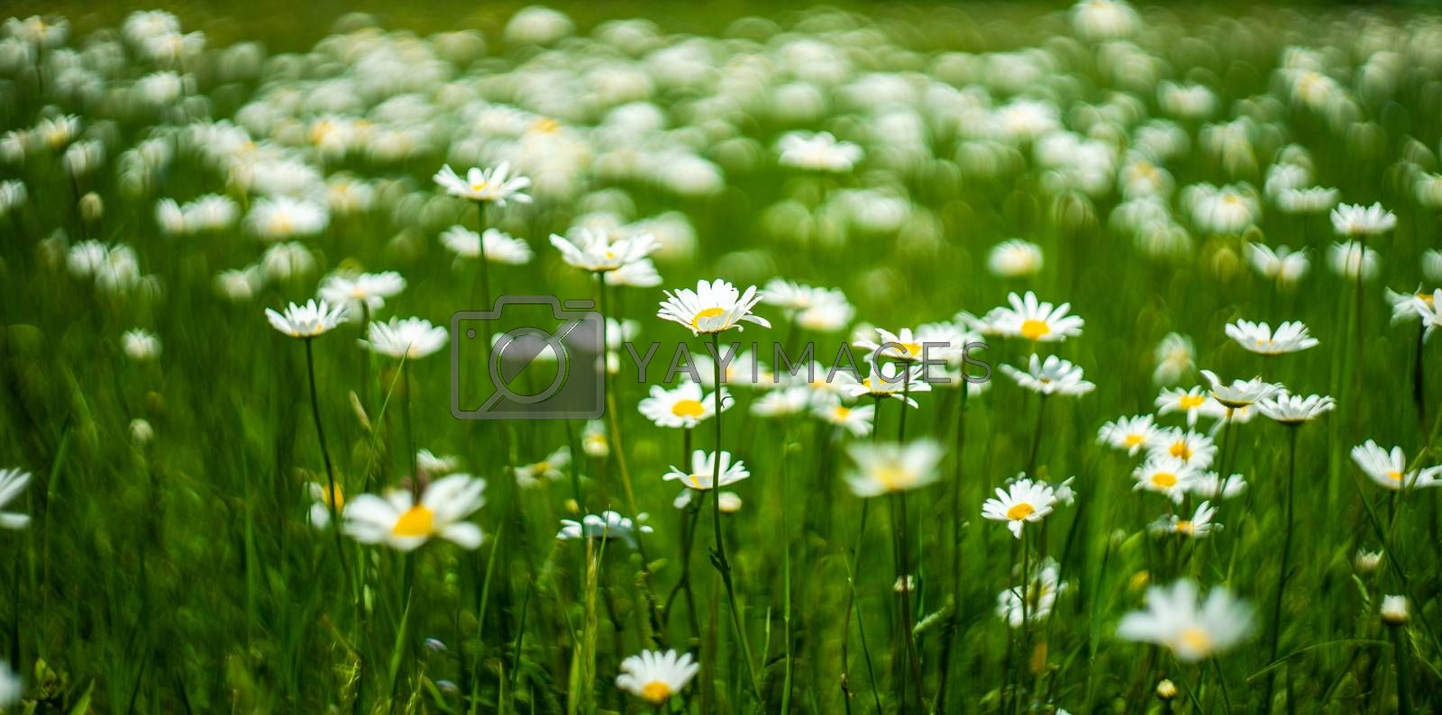 White daisies in the wild field as a natural card