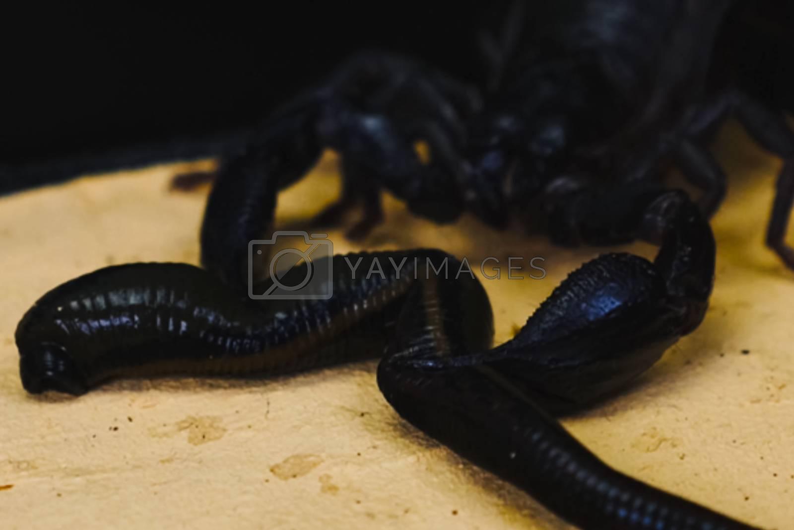 Scorpion with a leech in the terrarium. Black scorpion is a poisonous arthropod and bloodsucking leech.