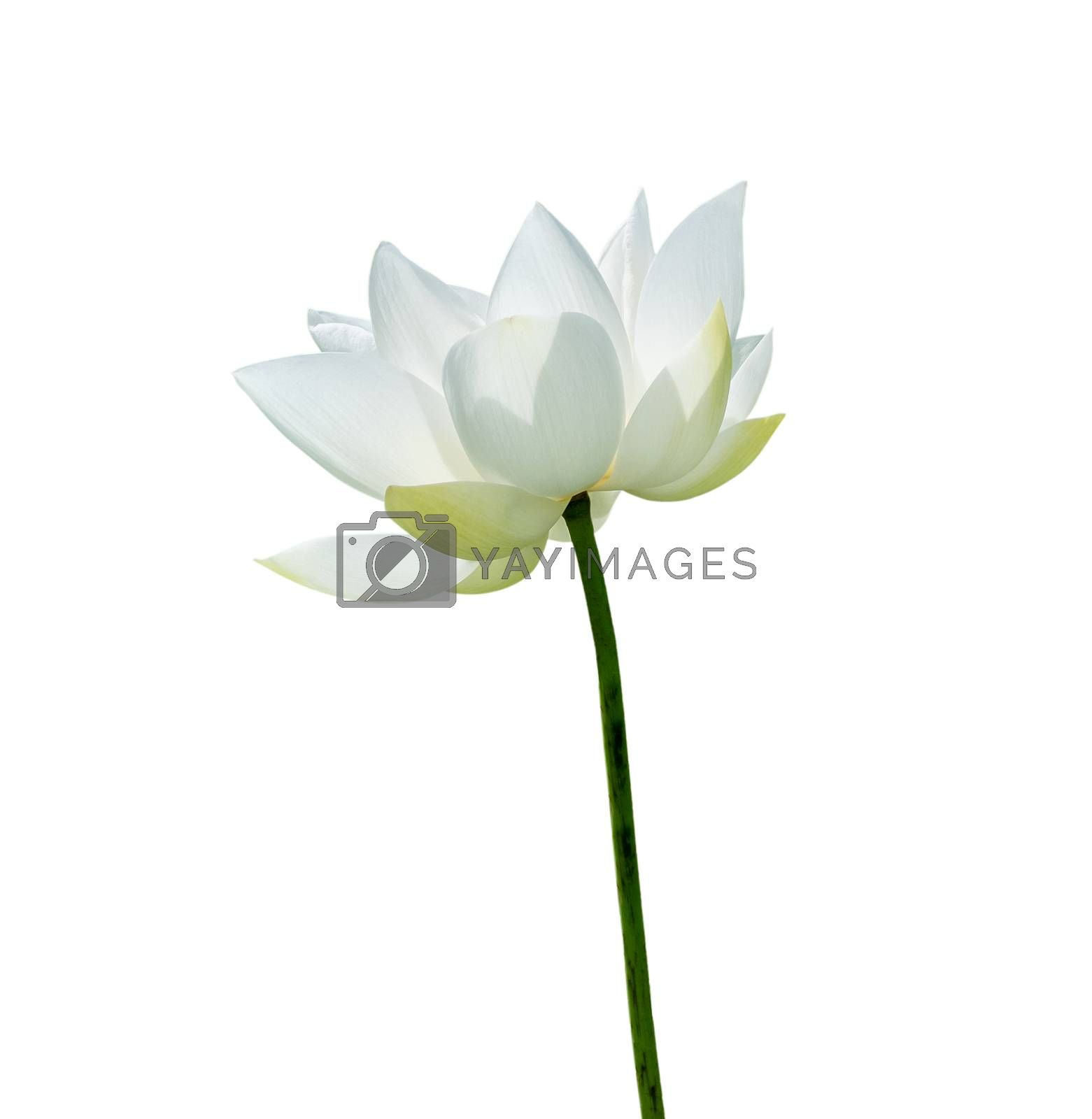 White Lotus flower isolated on white background. Nature concept For advertising design and assembly. File contains with clipping path so easy to work.