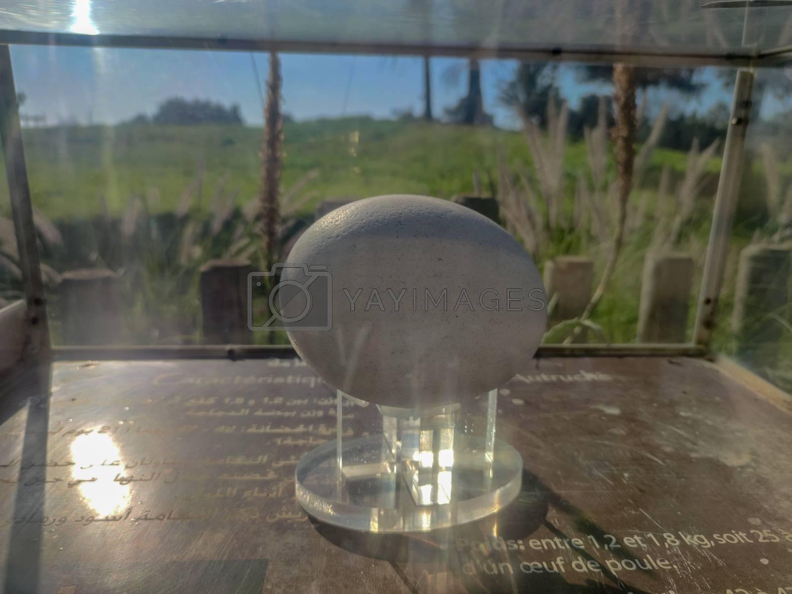 An ostrich egg in a glass box