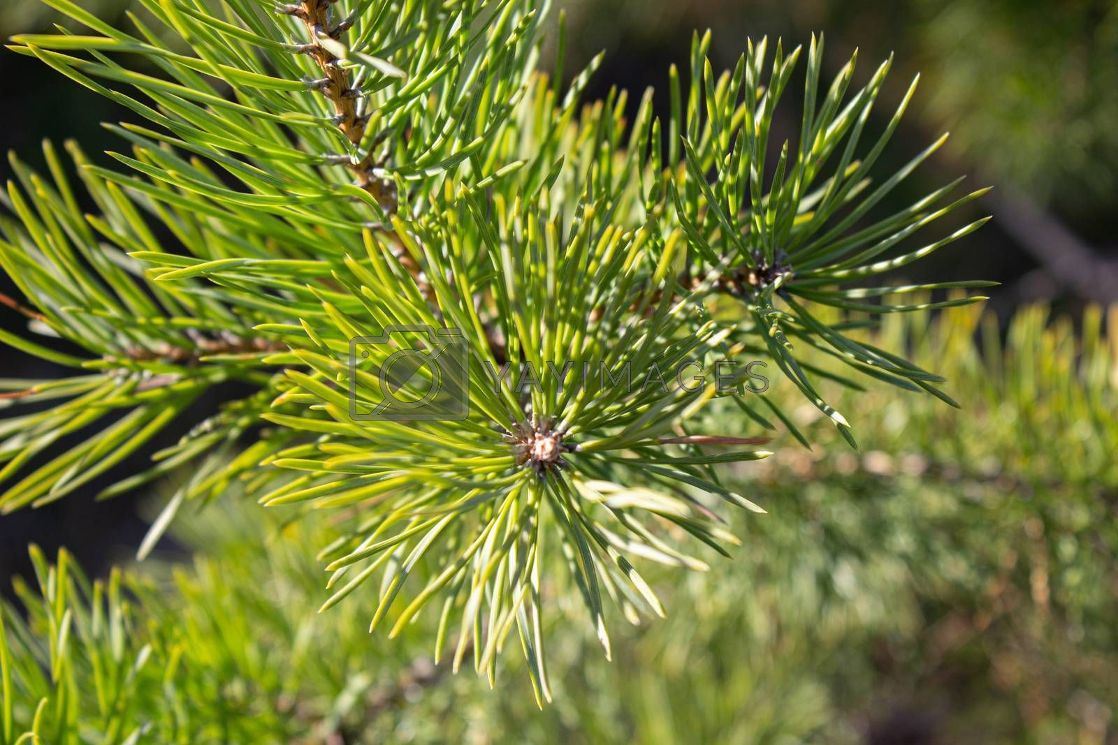 Horizontal photo depicting a bright evergreen pine tree green needles branches. Fir-tree, conifer, spruce close up, blurred background. Europe, Balkan Mountains.