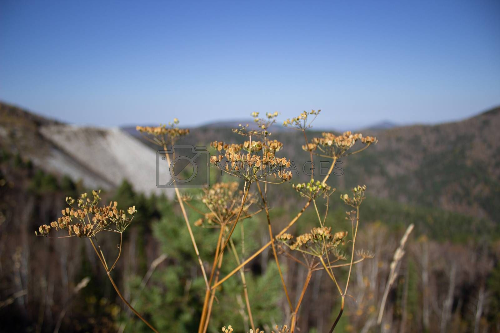 Two Eryngium monocephalum, Beautiful dry thistle bloom plant on volcano, dry, climate, mountain range, summit, macro close up, foreground, background mountains