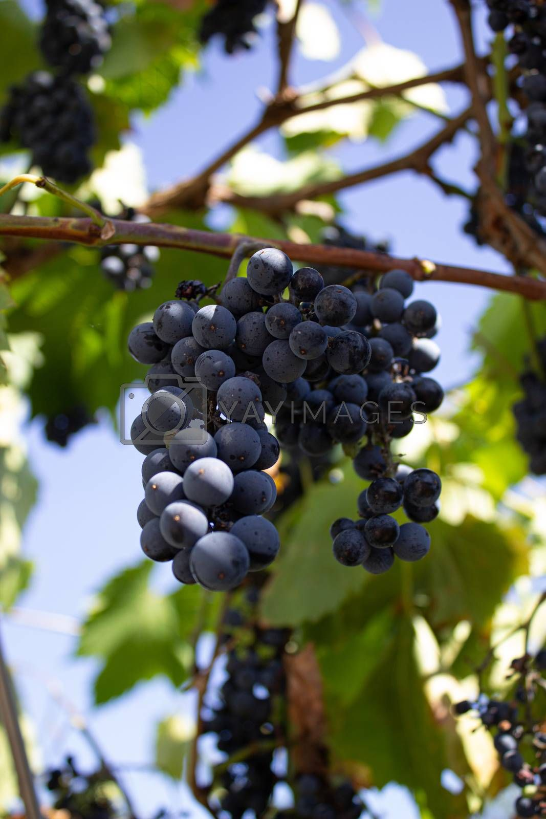 Clusters of red grapes on a vine. The harvest of the grapes. Viniculture.