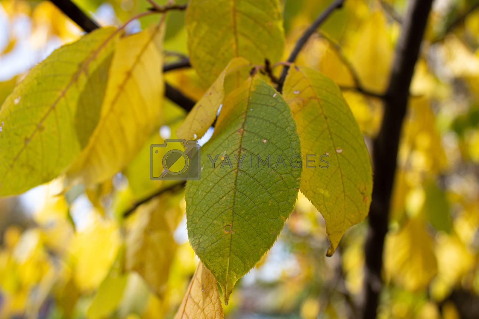 Yellow leaves yellow autumn. autumn leaves yellow trees.