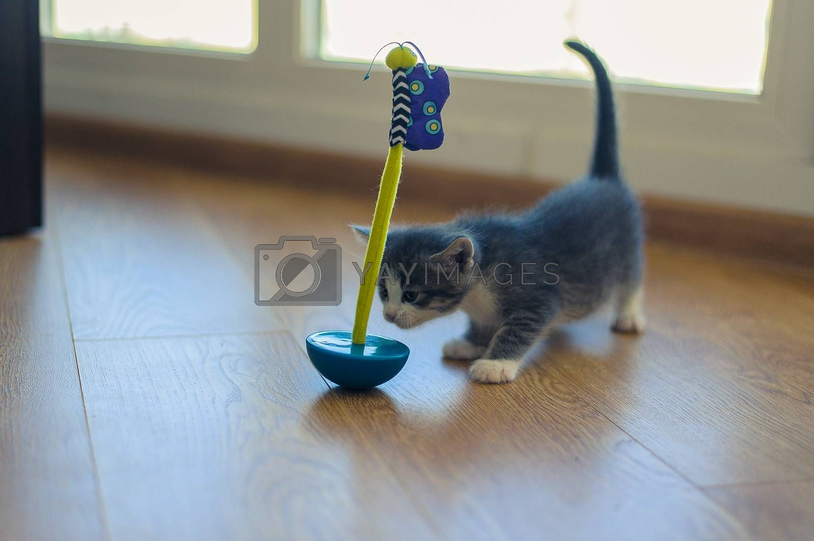 gray kitten is played with a round-bottomed toy on a wooden floor
