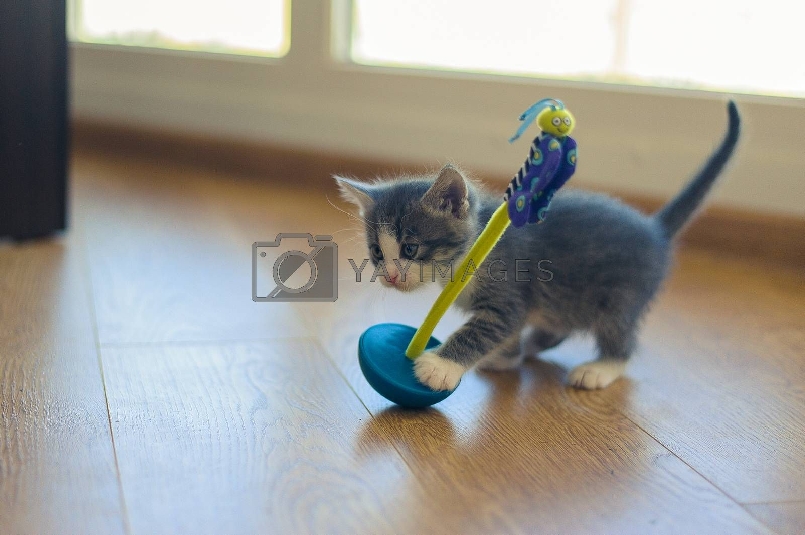 gray kitten is played with a roly-poly toy on a wooden floor