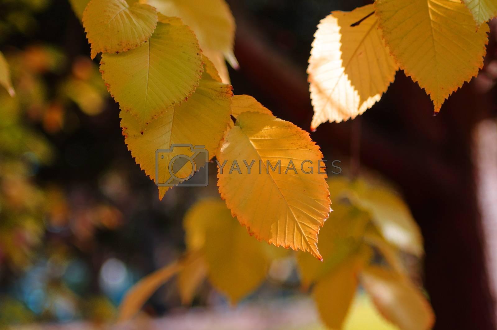 closeup of the autumn leaves