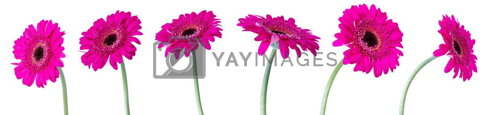 Gerbera flowers on white background
