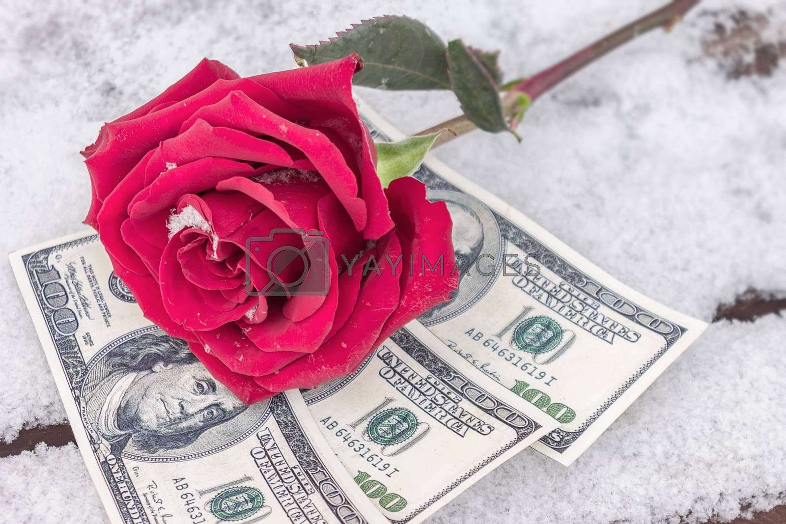 A red flower lies in the snow on top of money as a symbol of the purchase of love