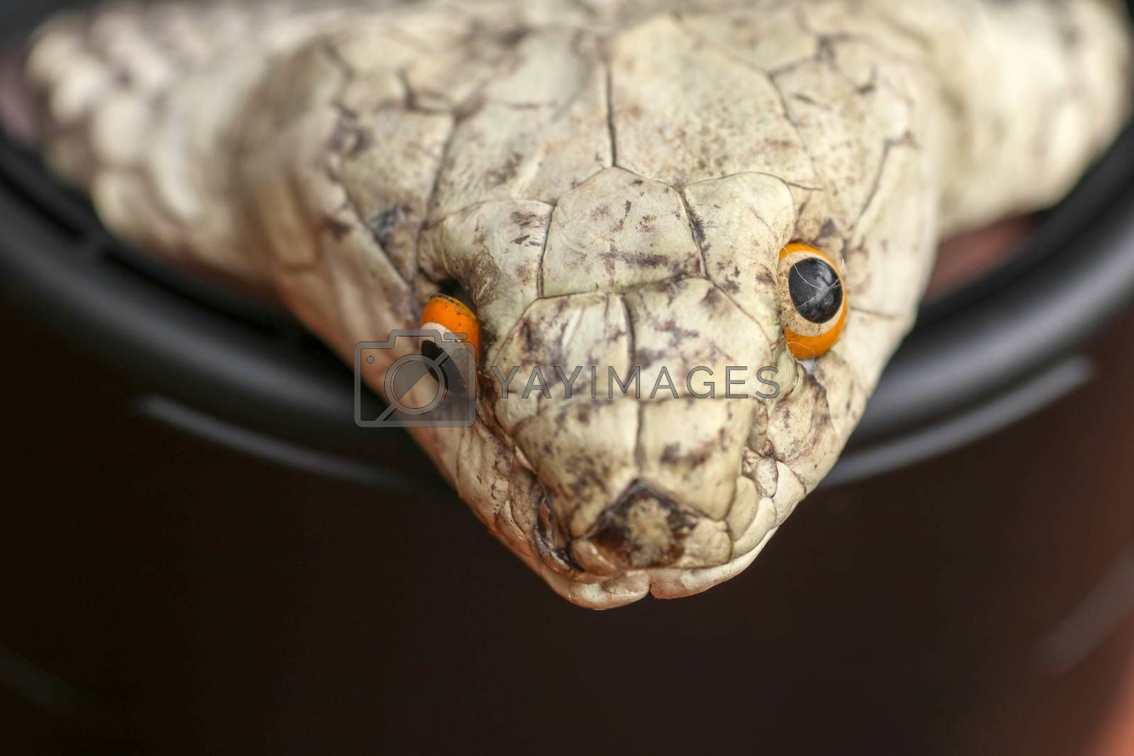 A close up head of a King Cobra. Tanned skin of Ophiophagus hannah. Belt of the most venomous snake on Bali island in Indonesia. Product from leather workshop.