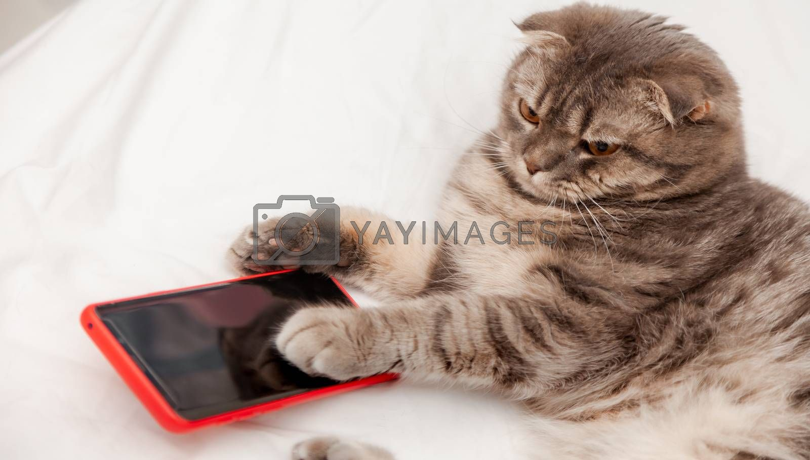 Little Cat cute with cell telephone or smartphone for Shopping Online on the Internet . scottish fold Cat ginger kitten pet on Social Network during quarantine to Virus Outbreak COVID-19.