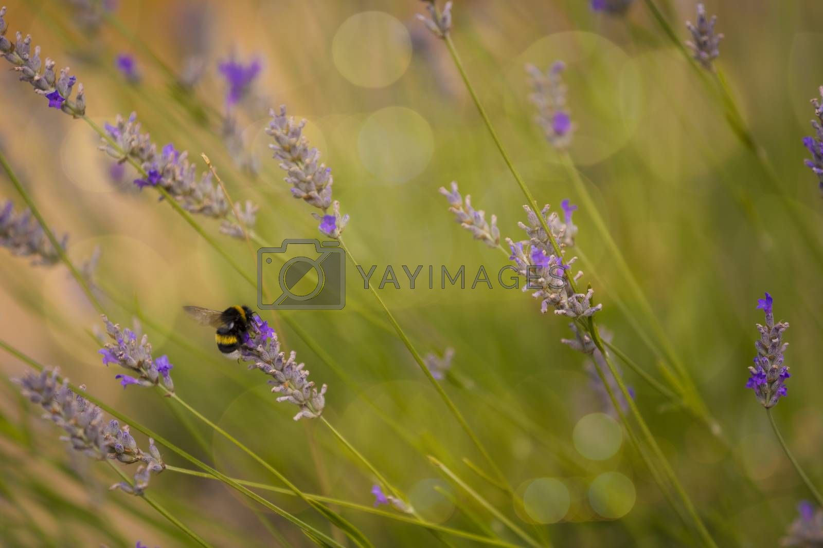 Bumblee in a field of lavender in the summer.
