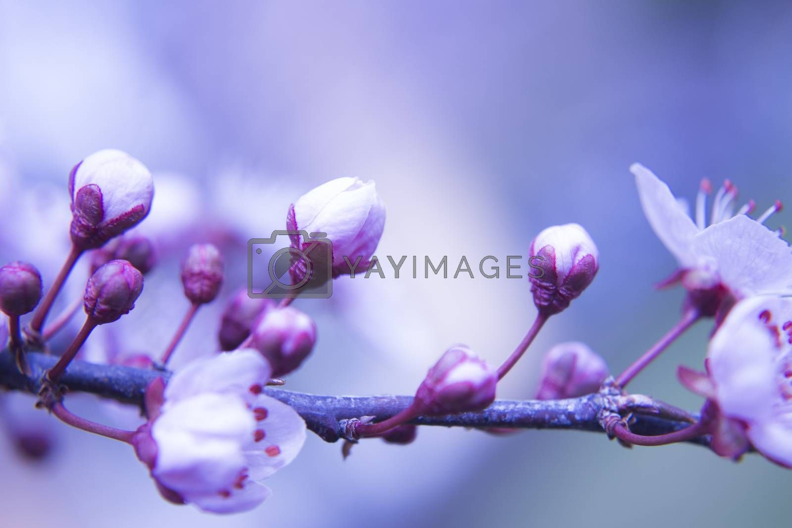 The cherry blossom in budding season