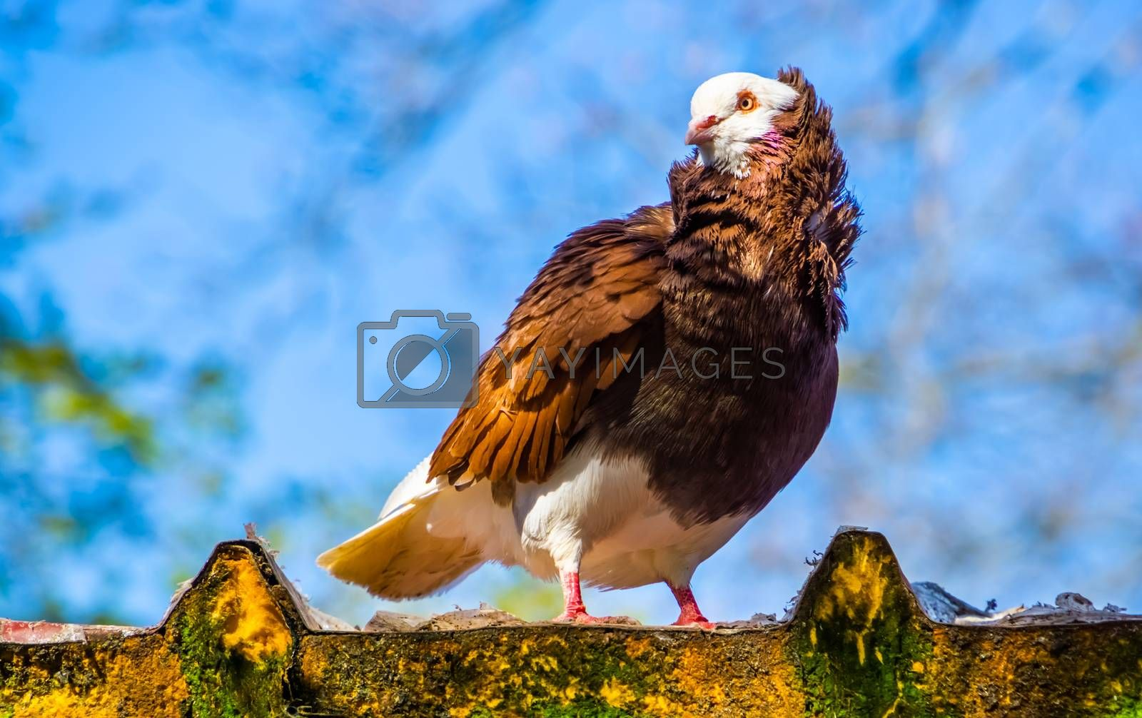 beautiful closeup portrait of a old dutch capuchine pigeon, popular breed from Asia