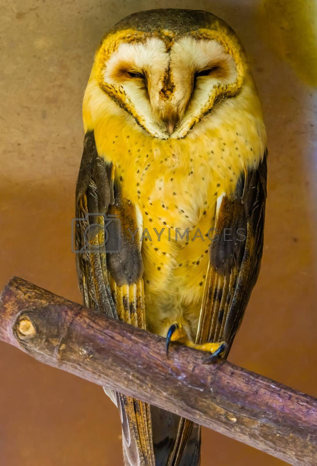 beautiful portrait of a common barn owl, bird specie from the Netherlands