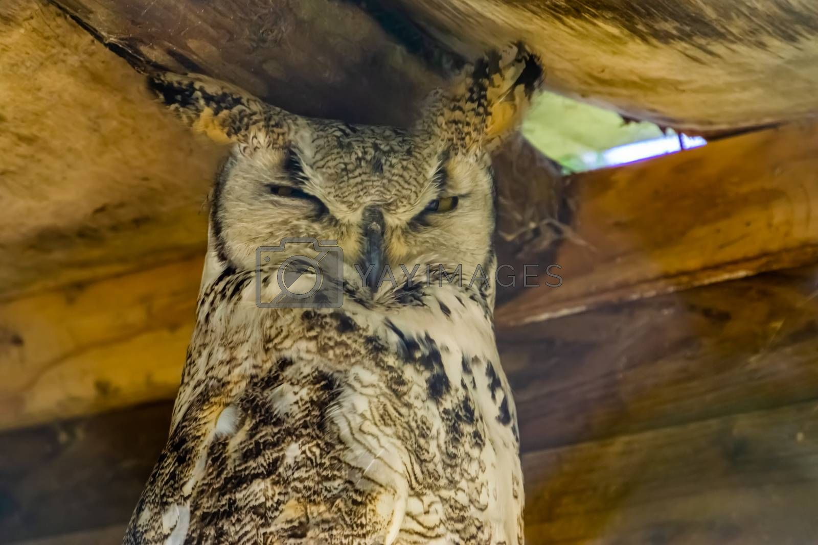 closeup portrait of great horned owl, bird specie from canada and america
