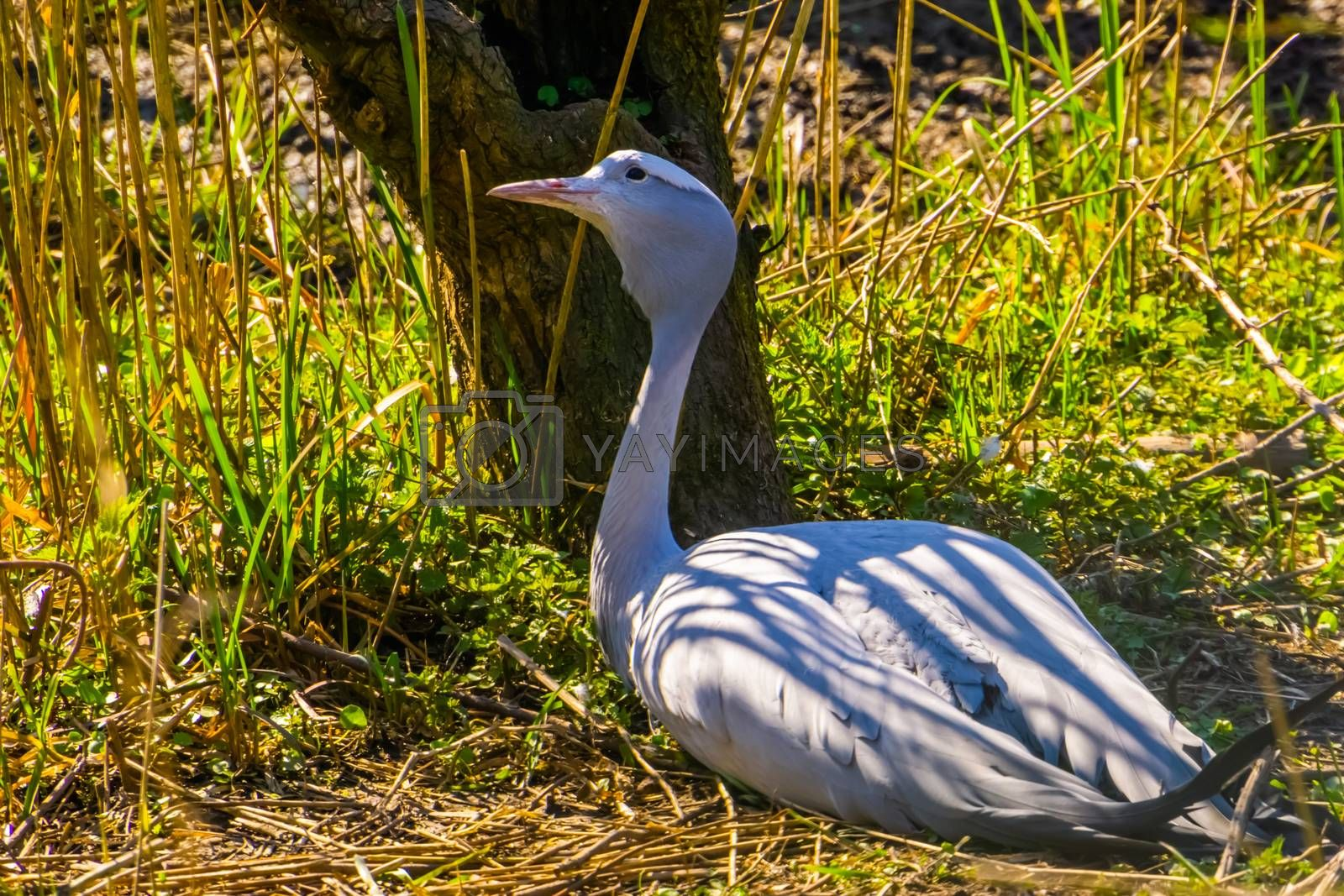 portrait of a blue paradise crane sitting on the ground, Vulnerable bird specie from Africa