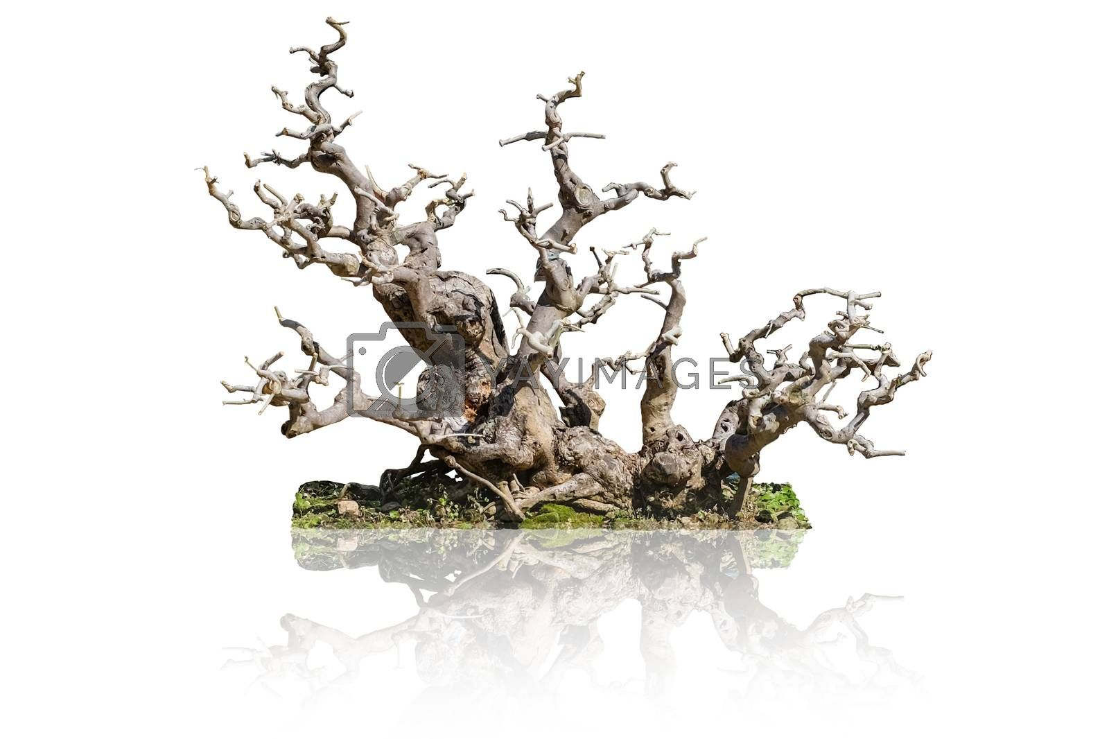Tree root, bonsai, isolated on white background