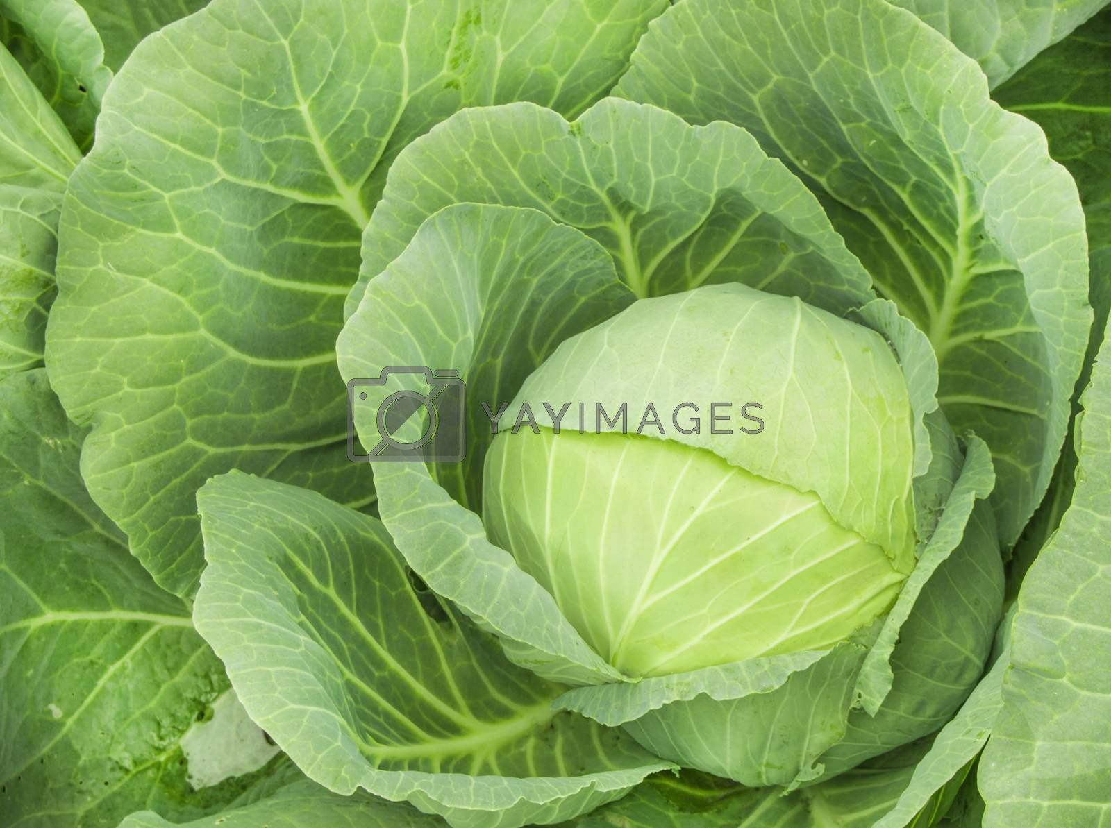 Close-up of fresh ripe cabbage on a vegetable bed. Cabbage forks growing in the garden, top view. Organic vegetable background. Concept of agriculture.