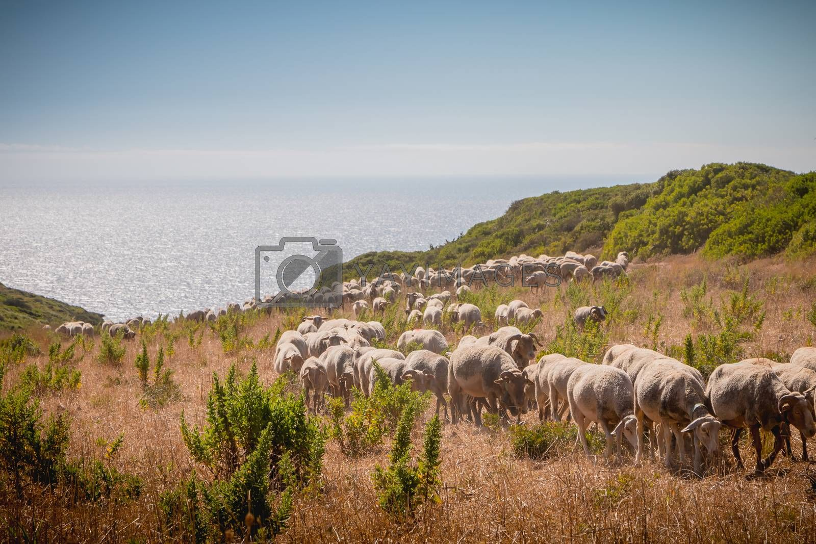 flock of sheep in a grassland by the sea near Sesimbra, Portugal