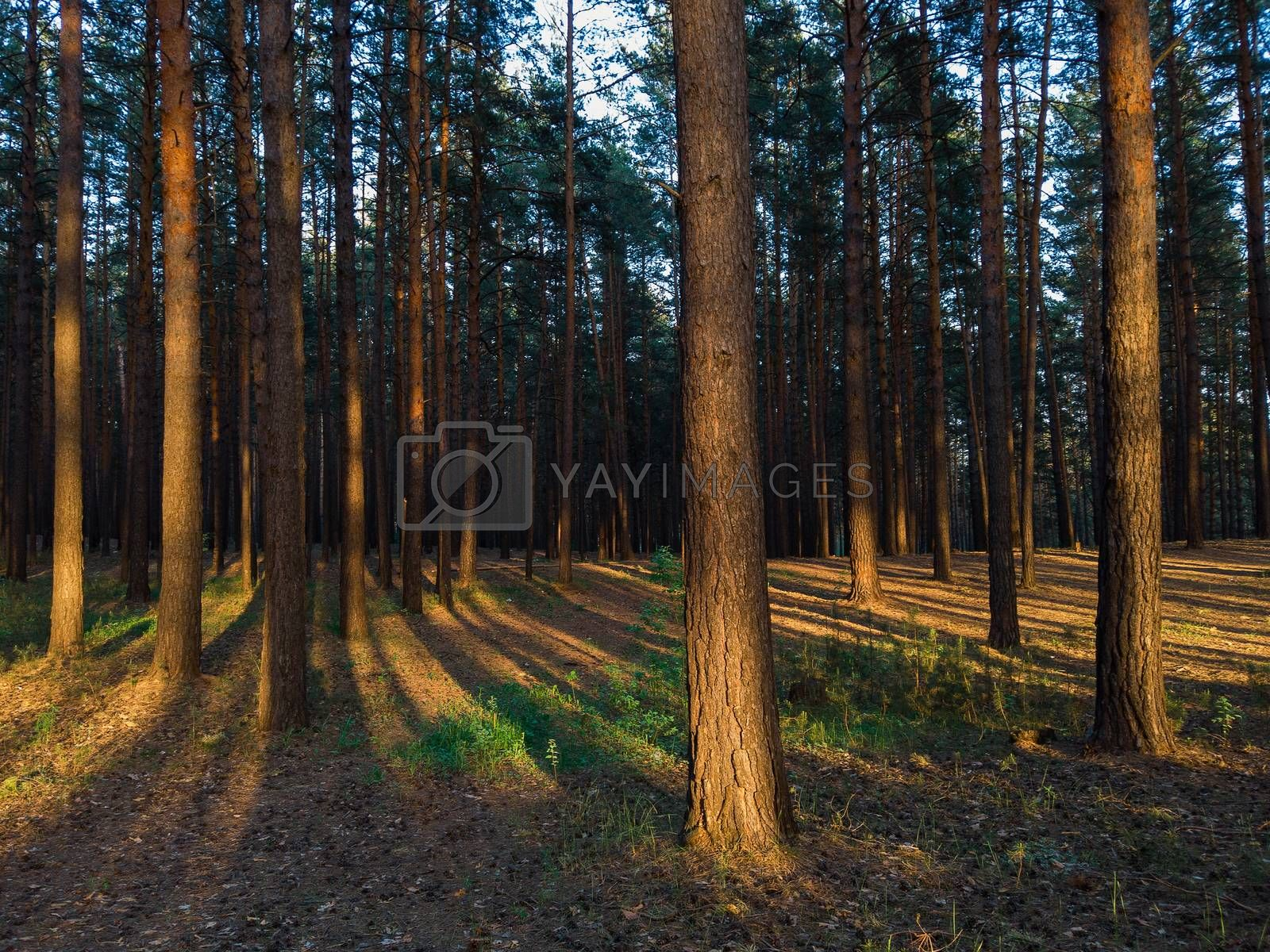 Royalty free image of forest in sunset by rusak