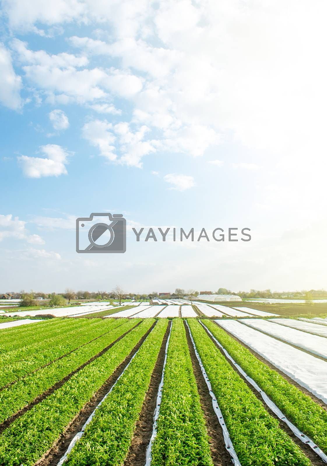 Green farm potato fields on an sunny morning day. Agricultural industry growing potatoes vegetables. Agroindustry and agribusiness. Organic farming products in Europe. Beautiful countryside landscape by iLixe48