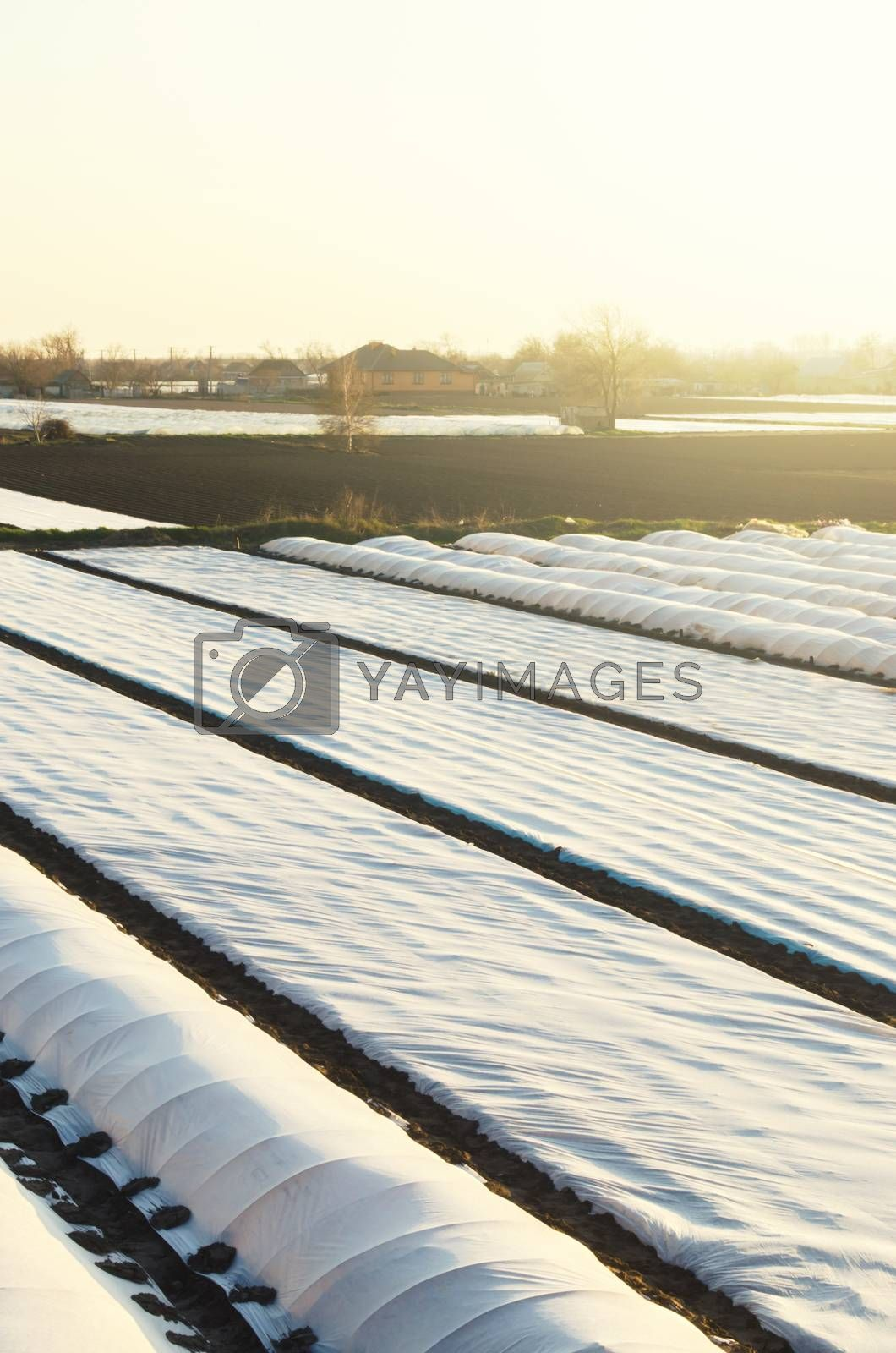 Farm Agricultural plantation fields covered with spunbond agrofibre. Protection crops against bad cold weather sudden temperature changes atmospheric effects. Early sowing campaign. Greenhouse