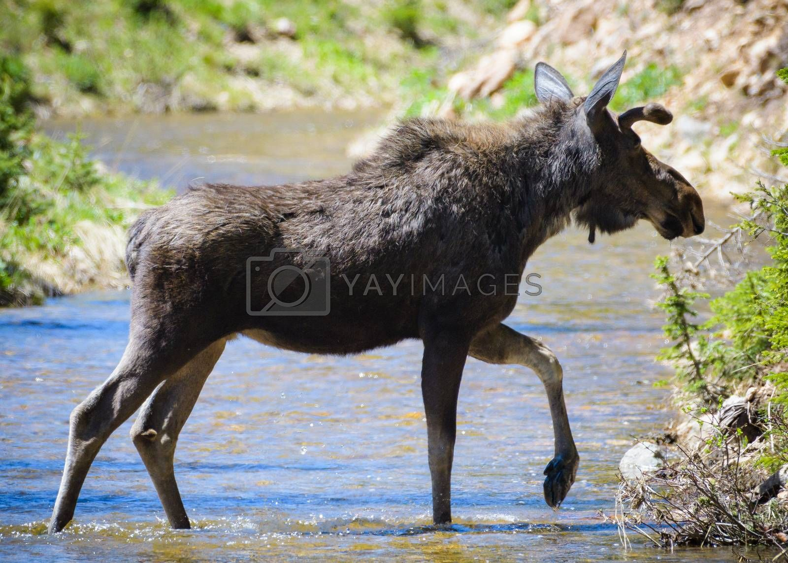 Bull Moose Moving Across a Stream. Colorado Moose Living in the Wild