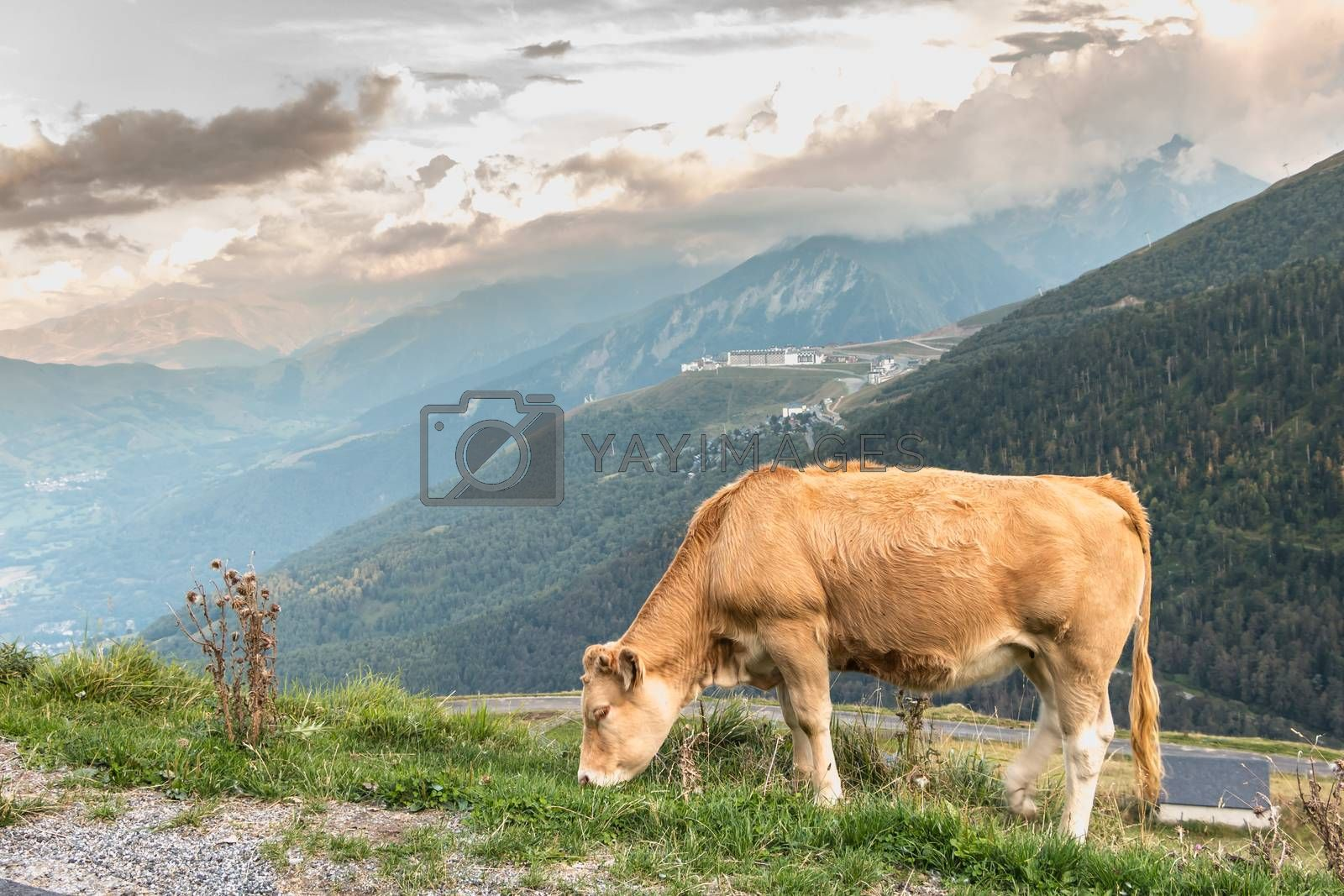 Saint Lary, France - August 21, 2018: cow grazing in the pasture near the Pla D Adet ski resort on a summer day