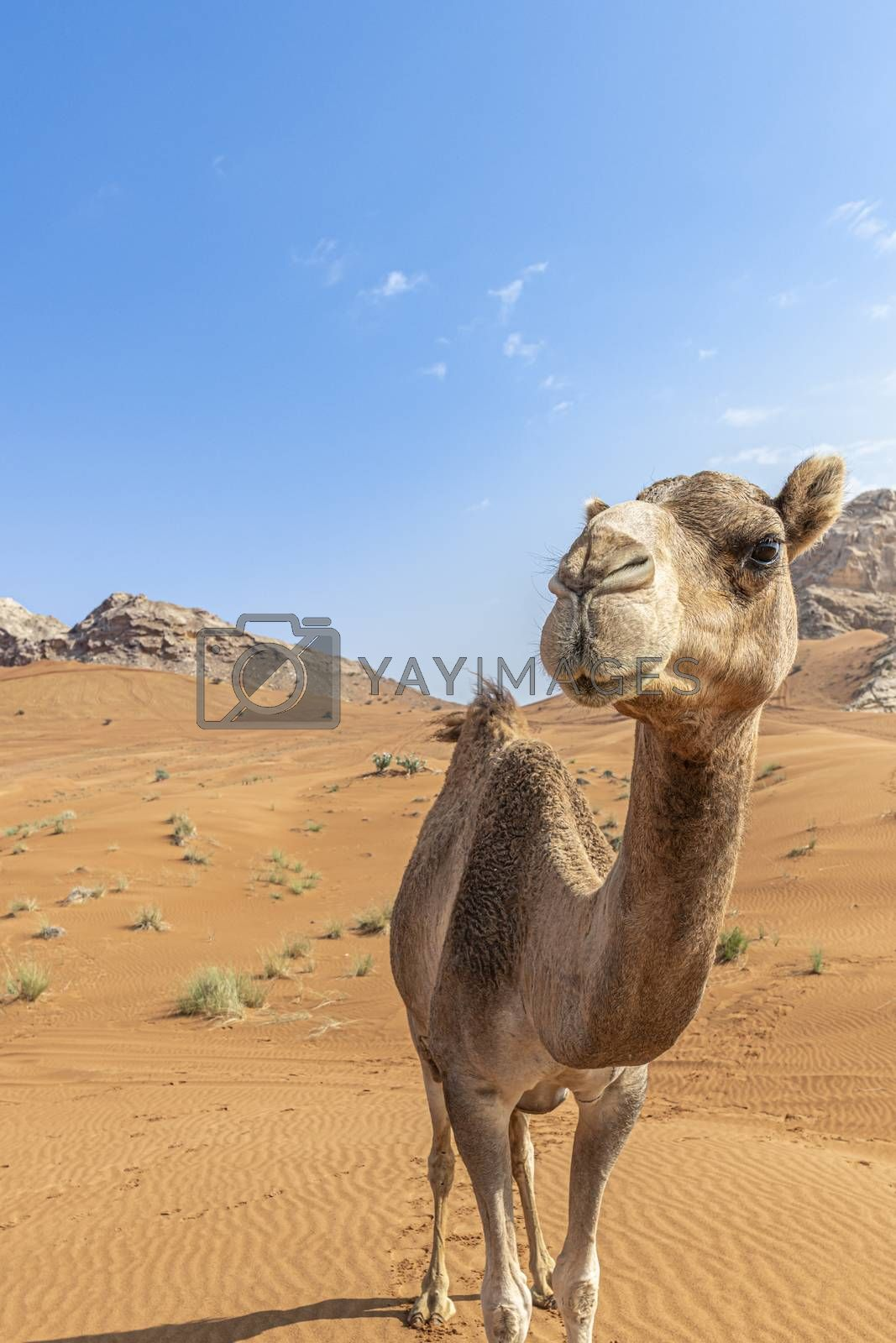 Camel in the desert looking at the camera with copy space in the sky