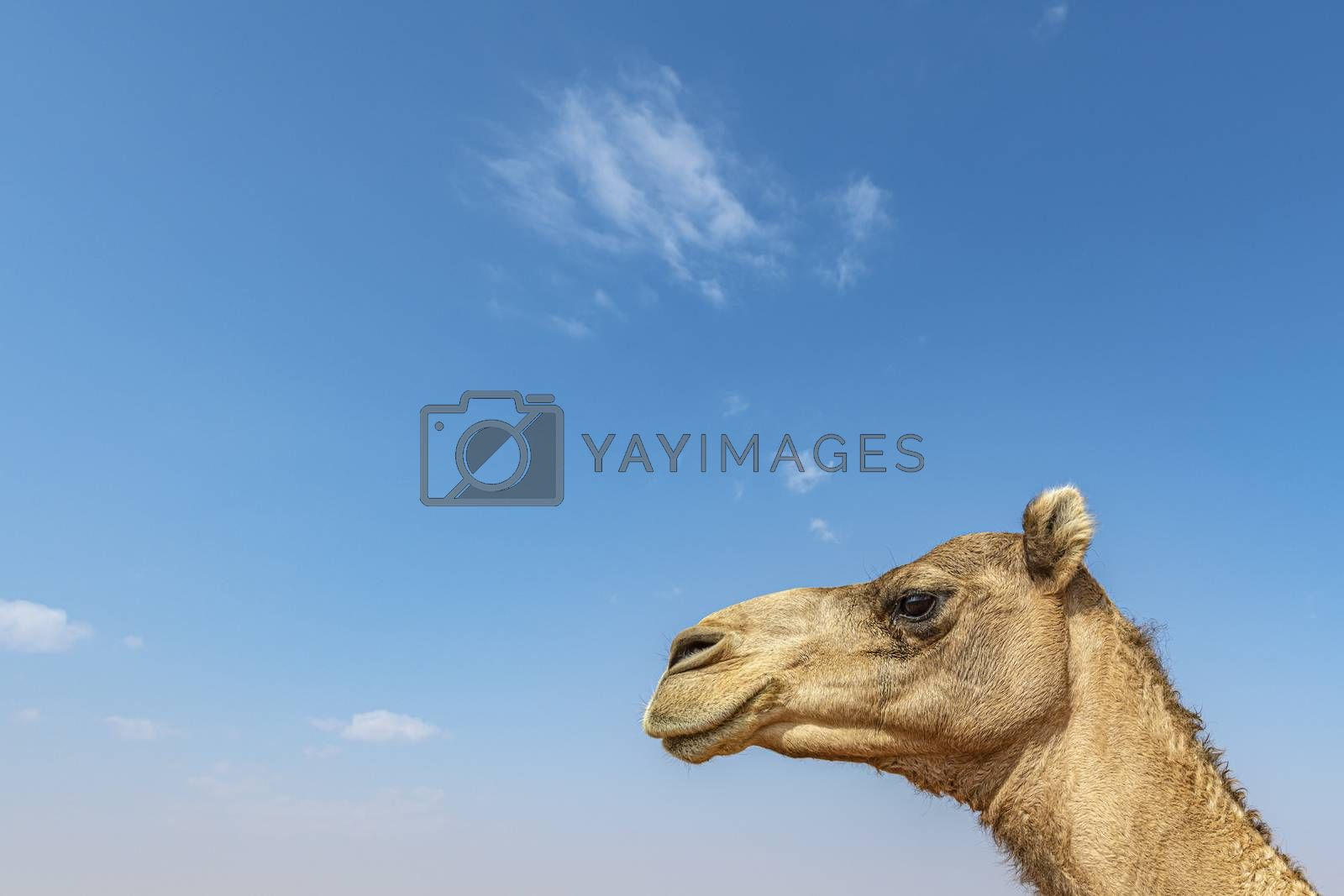 Closeup of Camel head against blue sky with large copy space