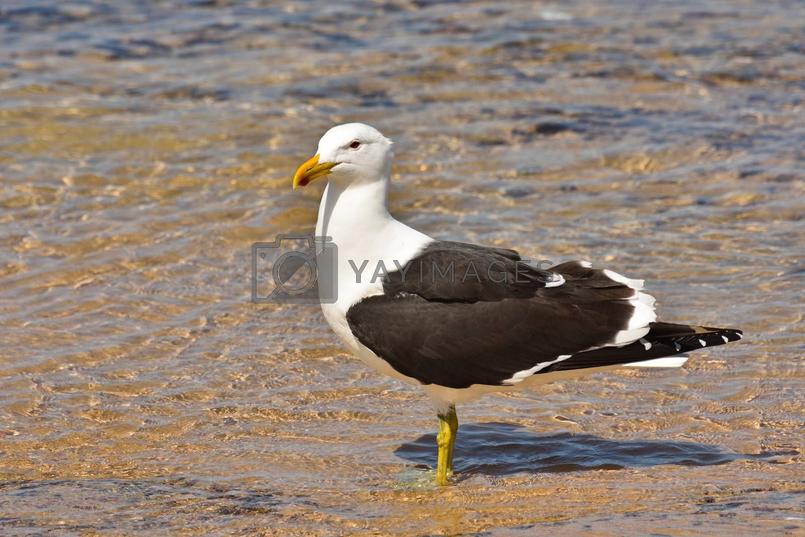 A lesser black-backed gull seagull (Larus fuscus) standing in coastal sea water, Mossel Bay, South Africa